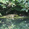 写真: 180608-7対岸から見たカイツブリの巣