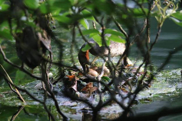 Photos: 180609-1卵の様子を見るカイツブリ