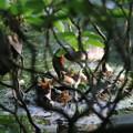 写真: 180609-1卵の様子を見るカイツブリ