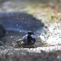 私の野鳥図鑑(蔵出し)・121225-IMG_7526ヒガラの水浴び