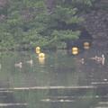 180609-3カルガモの母親と7羽の幼鳥