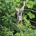 写真: 180609-7ゴイサギの飛び出し(1/4)