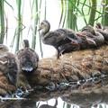 写真: 180609-15くつろぐカルガモの幼鳥