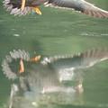 写真: 180609-17怒るカルガモの母親(2/4)
