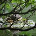 180610-1雛が孵った日の朝一番の写真・まだ卵を温めている模様・カイツブリ