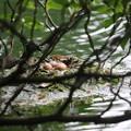 180610-3雛が孵っているのを確認した最初の写真・カイツブリ