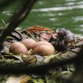 写真: 180610-5孵ったばかりの雛・カイツブリ
