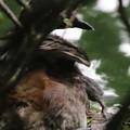 180610-7孵ったばかりの雛・早速親の背中に登ります・雛の足が見えていますカイツブリ(2/3)