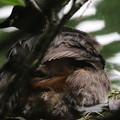 180610-8孵ったばかりの雛・早速親の背中に登ります・カイツブリ(3/3)