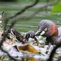 写真: 180612-2カイツブリの雛の食事(1/8)