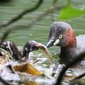 写真: 180612-4カイツブリの雛の食事(3/8)