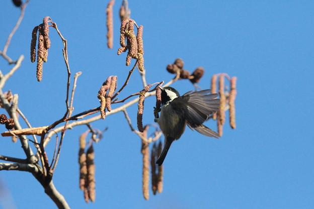 私の野鳥図鑑(蔵出し)・130128ヒガラ