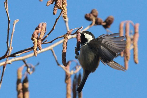 私の野鳥図鑑(蔵出し)・130128-木の実を食べるヒガラ