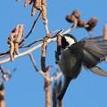 写真: 私の野鳥図鑑(蔵出し)・130128-木の実を食べるヒガラ