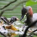 写真: 180612-8カイツブリの雛の食事(7/8)