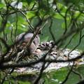 180612-11カイツブリの巣・卵と三羽の雛