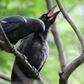 180627-6親に顎を撫でてもらうカラスの幼鳥