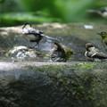 写真: 180701-6混浴・メジロとシジュウカラ