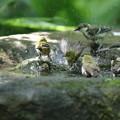 写真: 180701-7混浴・メジロとシジュウカラ
