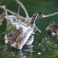 写真: 180702-3カイツブリの幼鳥