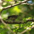 写真: 私の野鳥図鑑(蔵出し)・121008ヒヨドリ