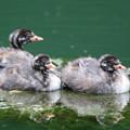 写真: 180704-1カイツブリの三羽の幼鳥