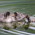 写真: 180704-6巣作りをするカイツブリの幼鳥