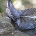 写真: 私の野鳥図鑑(蔵出し)・130108ヒヨドリ