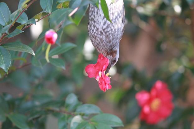 私の野鳥図鑑(蔵出し)・130201ツバキの花を食べるヒヨドリ