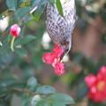 写真: 私の野鳥図鑑(蔵出し)・130201ツバキの花を食べるヒヨドリ