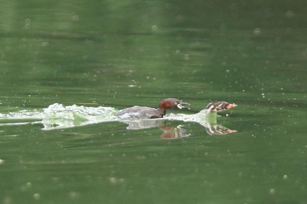 写真: 180715-3カイツブリの幼鳥を襲う親?