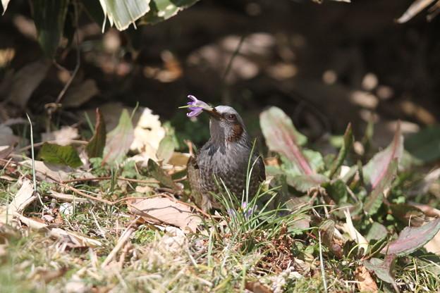 私の野鳥図鑑(蔵出し)・130302クロッカスを食べるヒヨドリ