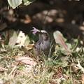 写真: 私の野鳥図鑑(蔵出し)・130302クロッカスを食べるヒヨドリ