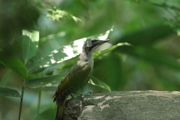 180715-10アオゲラ♀