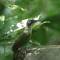 写真: 180715-10アオゲラ♀