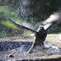 Photos: 私の野鳥図鑑(蔵出し)・170107-23ヒヨドリの水浴び