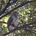 Photos: 私の野鳥図鑑(蔵出し)・180104BQ2A7314フクロウ