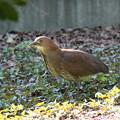 私の野鳥図鑑(蔵出し)・090501ミゾゴイ