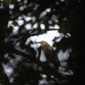私の野鳥図鑑(蔵出し)・120428ミゾゴイ