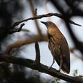 私の野鳥図鑑(蔵出し)・120429-IMG_0359ミゾゴイ
