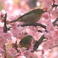 写真: 私の野鳥図鑑(蔵出し)・100310メジロと河津桜