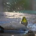 写真: 私の野鳥図鑑(蔵出し)・110105水浴び