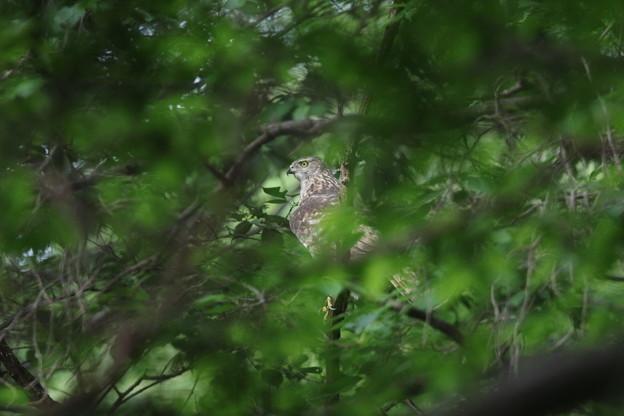 Photos: 180427-7葉の陰に隠れるオオタカ♀