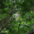 写真: 180427-7葉の陰に隠れるオオタカ♀