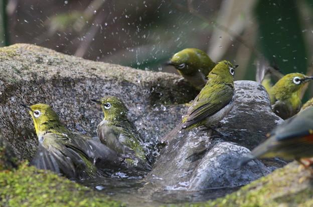 私の野鳥図鑑(蔵出し)・110411メジロの入浴