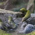 写真: 私の野鳥図鑑(蔵出し)・110411メジロの入浴