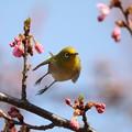 私の野鳥図鑑(蔵出し)・120320メジロと河津桜