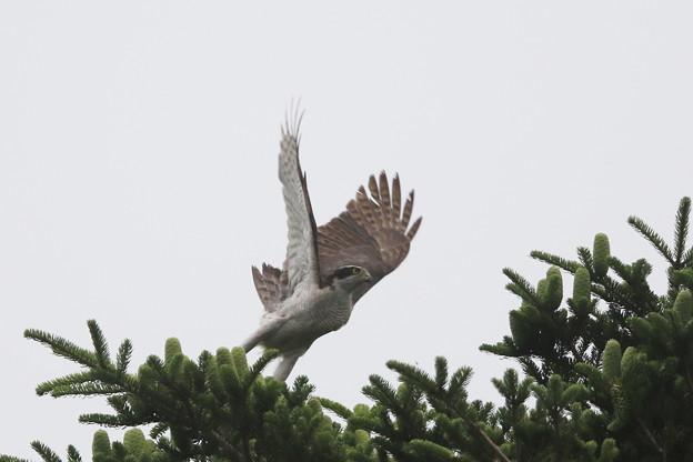 写真: 180615-10オオタカの飛び出し(3/4)