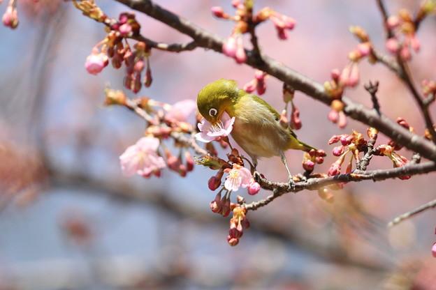 私の野鳥図鑑(蔵出し)・120321メジロと河津桜