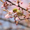 写真: 私の野鳥図鑑(蔵出し)・120321メジロと河津桜